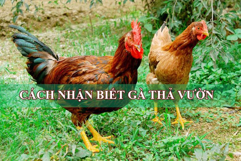 Cách nhận biết gà thả vườn và gà công nghiệp